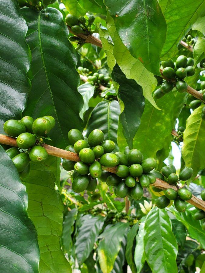 Coffee beans at Bay View Farm.